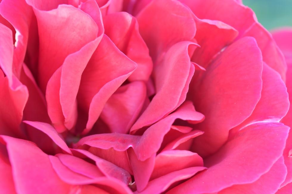 rosa_pink_rose